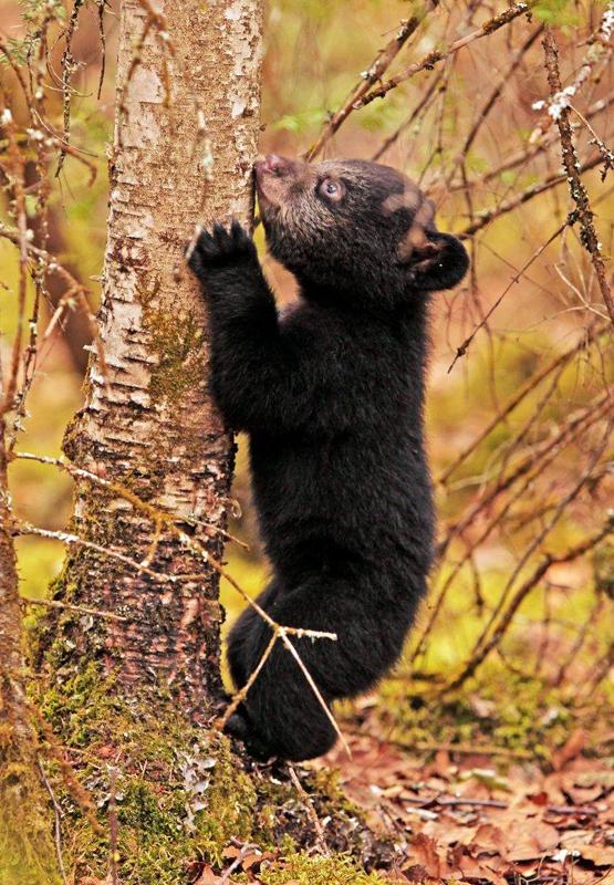 Hope starting up birch tree