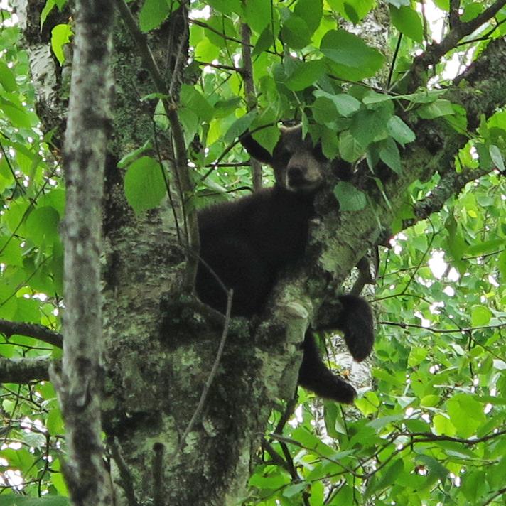 Hope sleeping in birch tree - June 6, 2010