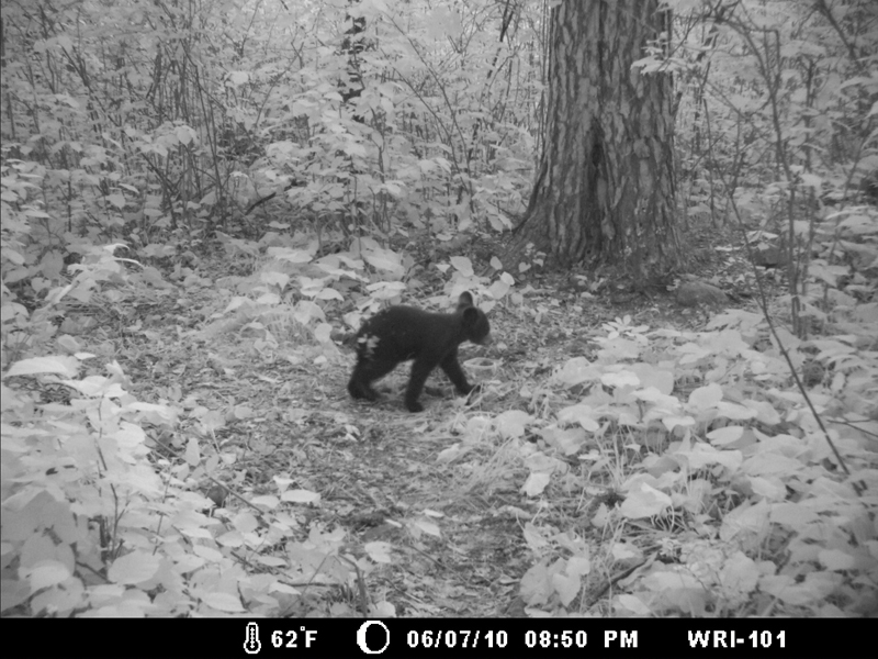 Hope caught on trail camera - June 7, 2010