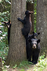 sow-cubs