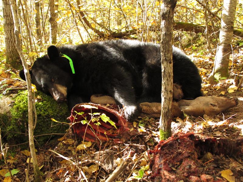Jo resting on deer carcass - Sept 26, 2010