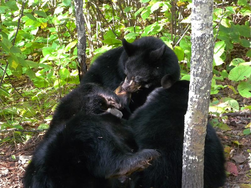 Juliet and cubs - September 9, 2010