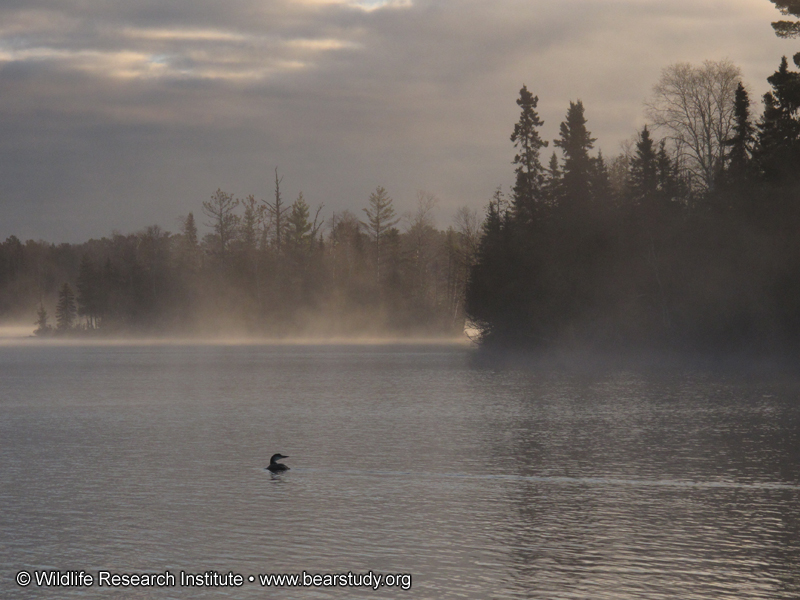 loon_in_the_mist_-_20101015