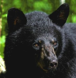 Researchers have found no instance of a black bear killing a menstruating woman.