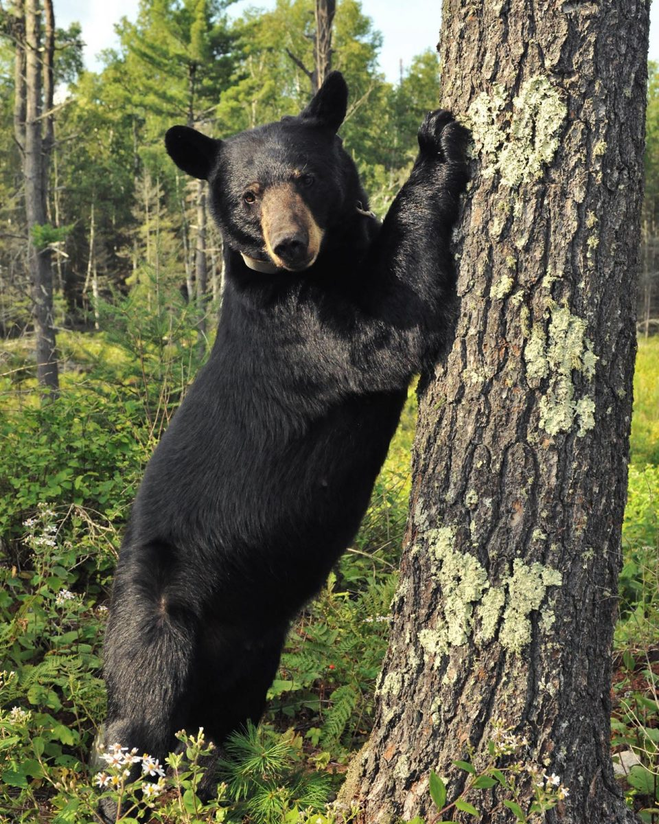 A BEAR ONLY HAS TO THINK IT'S CORNERED
