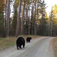 bears_01-24ba67de8a