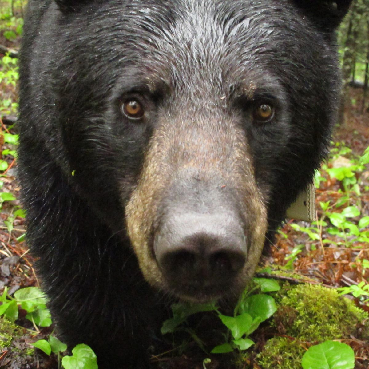 Vocalizations and Body Language - North American Bear