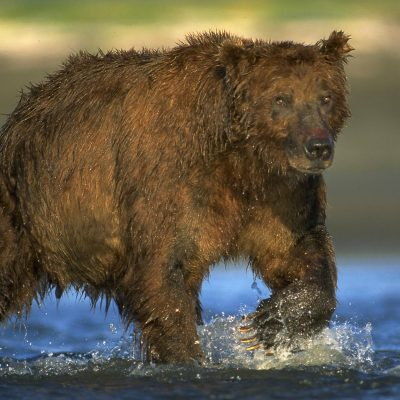 <h2>Mature male coastal grizzly bear</h2> <p>At low tide, coastal grizzlies search ocean bays for salmon that are gathering to swim up streams to spawn. </p>