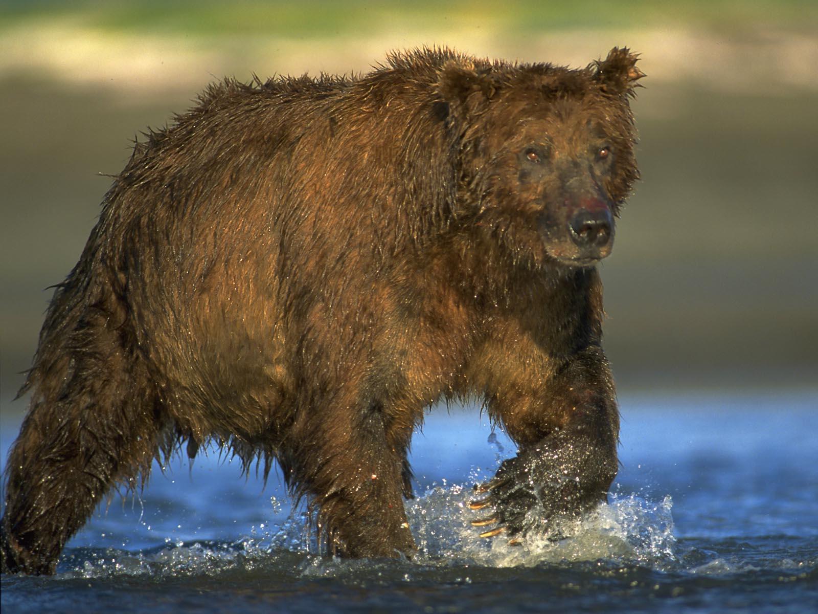 Mature male coastal grizzly bear