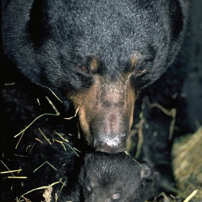<h2>Two-week-old cub in den with mother</h2><p>Bears give birth to smaller young, relative to mother size, than does any other placental mammal.  Black bear mothers that weigh 175 to 500 pounds produce cubs that weigh less than a pound each in January.  By the time the families leave their dens in April, the cubs weigh 4 to 10 pounds, which is about the expected birth weight for an animal of bear size.  Cubs gradually open their eyes at 5 to 7 weeks.</p>