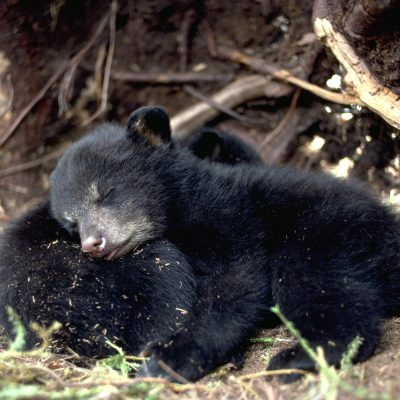 <h2>Sleeping beauties</h2><p>Two content cubs are asleep in their den after nursing.  Their mother, still lethargic from hibernation, is exploring the spring surroundings after an early snow melt.  Newborn cubs do not hibernate.  Their job is to eat, sleep, and grow.  These two weigh four pounds at nine weeks of age.</p>