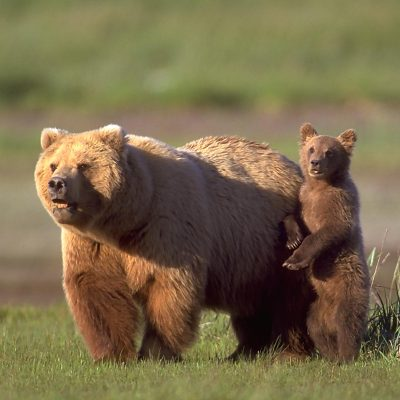 <h2>The Protector</h2> <p>Grizzly cubs run to their mothers for protection, while black bear cubs run for trees. Attacks by defensive mothers account for 70 percent of human deaths from grizzly bears, but mother black bears are not known to have killed anyone in defense of cubs. The idea that black bear mothers are likely to attack is one of the biggest misconceptions about black bears. </p>