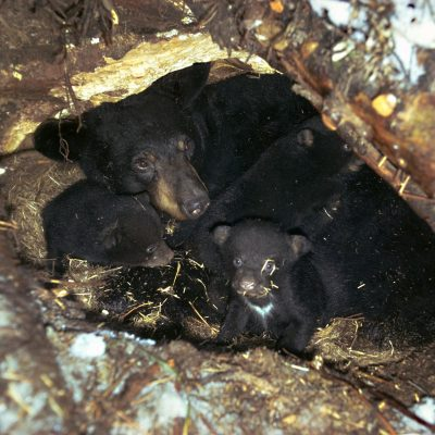 <h2>7-year-old mother with cubs in a den under a fallen tree</h2><p>Three is the most common litter size in the East-two in the West.  The record is six.  When mothers cannot find enough food, milk is limited, so cub mortality is highest in the largest litters.</p>
