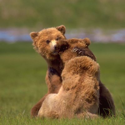 <h2>A bear hug</h2> <p>Where food is abundant, bears buddy up to wrestle and play, sometimes for days. Mating pairs also play. Mating season for black and grizzly bears is late spring to early summer. Polar bears mate in late March to late May. </p>