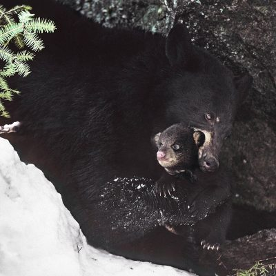 <h2>Mother carrying cub from den</h2><p>With her paw, this mother gently positioned her cub behind her large canine teeth, using those teeth as a loose cradle for the cub.   She carried the cub away from the flooding den, keeping it above the melting snow.</p>