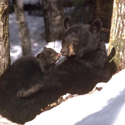 <h2>Warming her cub</h2><p>The mother stopped to warm the cub she was carrying in her mouth.  She lay on her back, placed the cub on her stomach, and brought her hind legs up around it.  The cub snuggled into the warm fur, then sat up, and looked at mom squinting in the sun.</p>