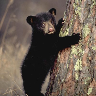 <h2>Black bear cub.  Age: 4 months. Weight: About 10 pounds.</h2><p>Cub growth and survival depends upon food.  By fall, cubs can weigh as little as 15 pounds or more that 160 pounds.  This flexibility in growth rate, depending upon food, helps black bears adapt to habitat conditions from the arctic tundra of Labrador to the mountains and deserts of northern Mexico.</p>