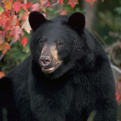 <h2>Startled and concerned</h2><p>Many people fear that bears will sense they are afraid and attack. However, most people who see bears close-up ARE afraid-and are not attacked. Bears look a bit like dogs but are less aggressive. Across North America, dogs kill 16 times more people than do black, grizzly, and polar bears combined.</p>