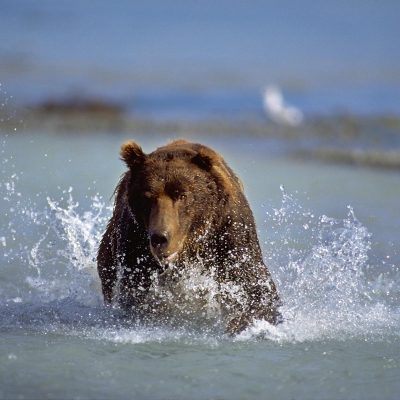 <h2>Chasing a salmon</h2> <p>With his eyes fixed on a salmon, this running grizzly demonstrates speed and power. </p>