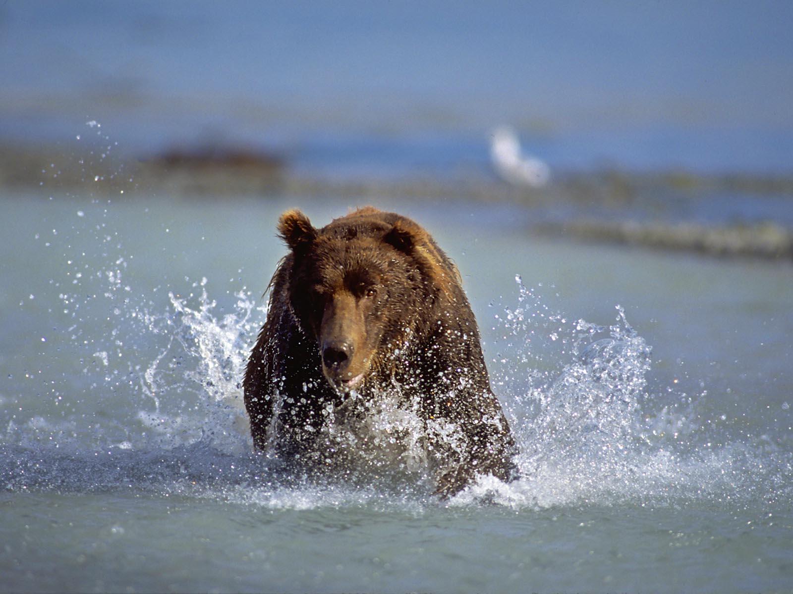 Chasing a salmon