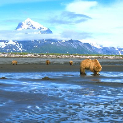 <h2>Digging clams</h2> <p>When tides are lower than usual, grizzlies gather to dig clams from the exposed ocean floor. Much of the activity pattern of coastal grizzlies is dictated by ocean tides.</p>