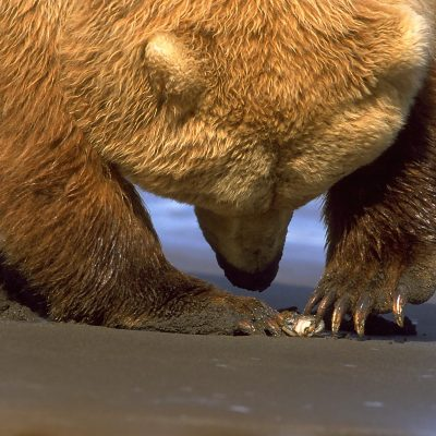 <h2>Delicate power</h2> <p>This mature grizzly bear female is delicately using one or two claws to open the clam she dug. </p>