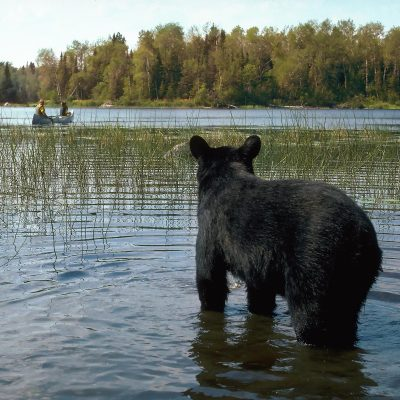 <h2>Bear watching  canoeists</h2><p>People are moving into bear country in unprecedented numbers, and black bear numbers have increased to about 750,000 across North America, so more people are seeing more bears.</p>
