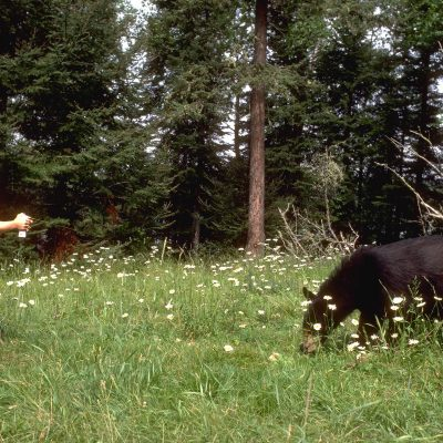 <h2>Kelly Rogers pepper-spraying a bear</h2><p>Pepper spray works as well on bears as it does on dogs.   In hundreds of tests, the bears didn't go away mad, they just went away-without any aggression toward the sprayer.  This bear ran away when 5-year-old Kelly sprayed it.  The next day, the bear seemed calm around Kelly's father but ran up a tree when Kelly appeared.</p>