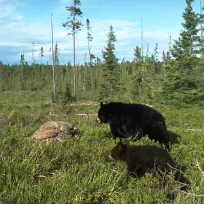 <h2>Mother and cub moving to a fresh blueberry patch</h2><p>Black bear females share their territories with their cubs and with independent offspring from past litters.  If a territory is crowded, the mother tries to usurp part of a neighboring territory rather than fighting with her own offspring.</p>