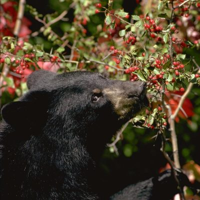 <h2>Black bear eating hawthorn berries</h2><p>Wild fruit, nuts, and acorns are the most important foods for black bears in summer and fall. If those crops fail, cubs starve, females abort their fetuses, and some bears follow their noses to human foods. Photo:</p>