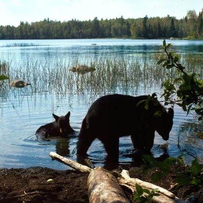 <h2>Black bears cooling off</h2><p>Bears cool off by lying in the water, by panting, or by resting in the shade with their sparsely furred undersides against the ground.</p>