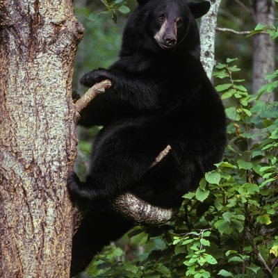 <h2>Seeking safety</h2><p>Black bears are adapted for forest life and have short strong claws for climbing. Grizzly bears are adapted for more open country and have longer claws for digging. Unlike cats, these bears do not have sharp claws for holding prey.</p>