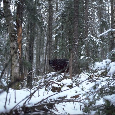 <h2>Time to call it a year</h2><p>Hibernation is an adaptation to escape starvation, not cold. The timing of hibernation varies with region and is genetically set to the period when natural food typically becomes unavailable. In the north, black bears enter dens in September or October and will abandon artificial food to hibernate on time. In the south, they enter dens in December or January, and some do not enter dens at all if food is available.</p>