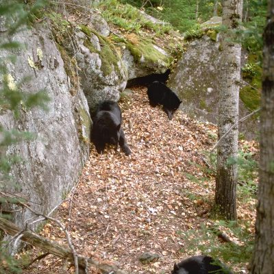 <h2>Mother and cubs raking leaves into a den</h2><p>The family stayed at the den from October 10 to March 31.</p>