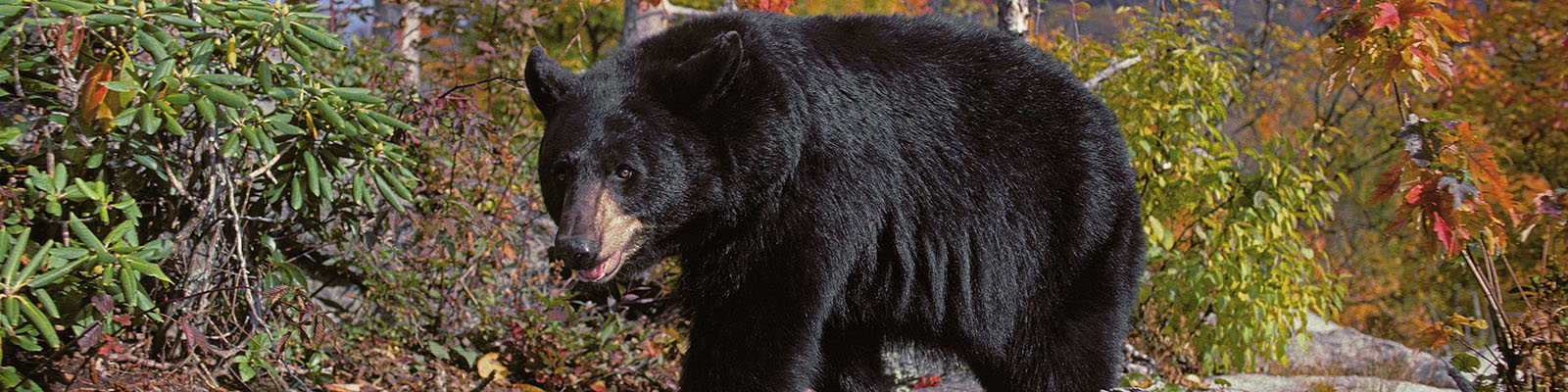 Quick Black Bear Facts North American Bear Centernorth American Bear Center
