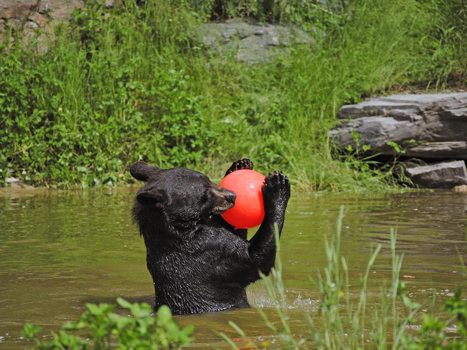 Live Cams - North American Bear CenterNorth American Bear Center